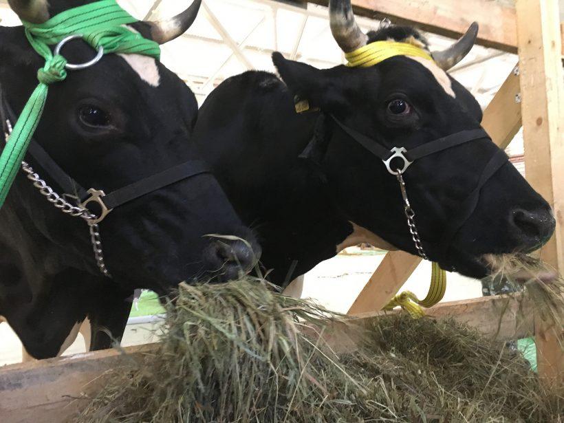 """""""Star Cows"""" of Elinar!"""