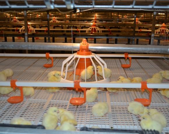 На птицефабрике приступили к новой технологии выращивания